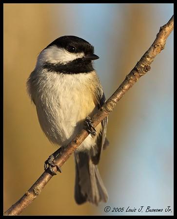Black-capped Chickadee<br /> Poecile atricapilla <br /> <br /> Commack NY