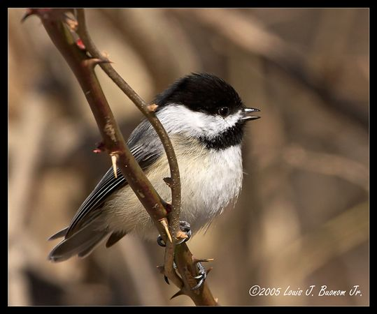 Black-capped Chickadee<br /> Poecile atricapilla <br /> <br /> Spring 2005 - Elizabeth Morton Refuge Noyak NY