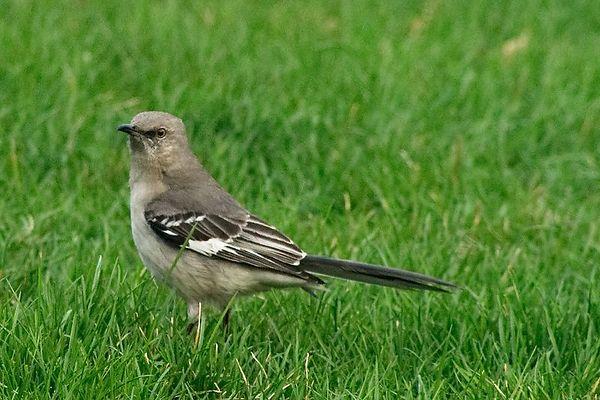 Northern Mockingbird<br /> Mimus polyglottos<br /> <br /> Commack NY Spring 04