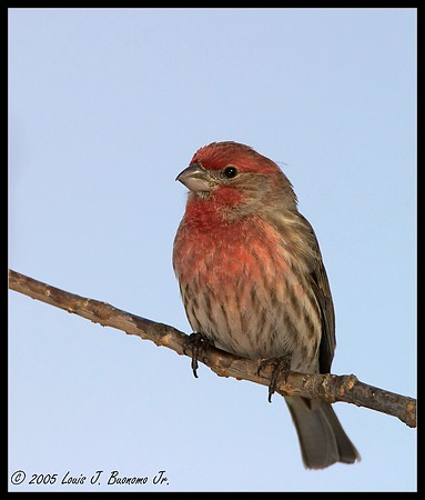 House Finch-Carpodacus mexicanus<br /> Commack NY Winter 2005