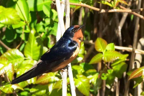 Barn Swallow<br /> <br />  Sunken Meadow 5-8-04