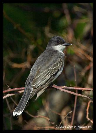 Eastern Kingbird<br /> Tyrannus tyrannus<br /> Sunken Meadow Park