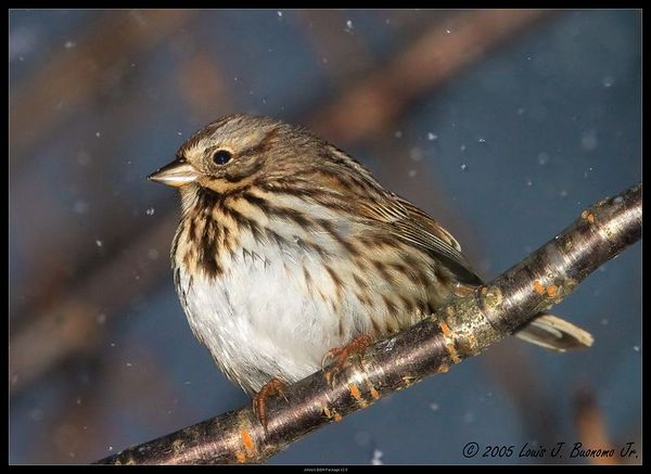 Lincoln's Sparrow -Melospiza lincolnii<br /> In snow storm Winter 2005