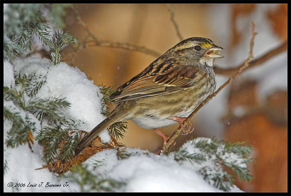 white throated sparrow - Tan Morph