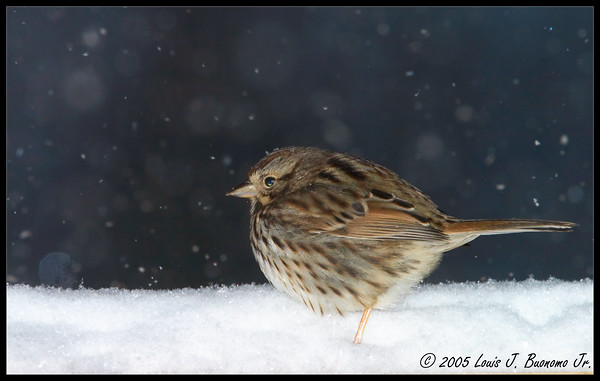 Lincoln's Sparrow - Melospiza lincolnii<br /> Pano Puffed in falling Snow