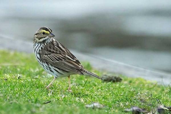 Savannah Sparrow -<br /> Passerculus sandwichensis<br /> <br /> Caleb Smith House Smithtown Summer 2004
