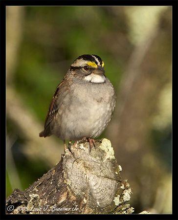 White-throated Sparrow<br /> Zonotrichia albicollis