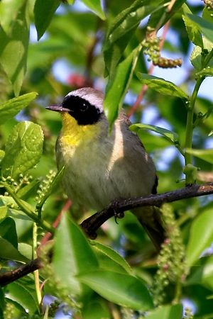 Common Yellowthroat<br /> Geothlypis trichas<br /> <br /> Jones Beach Spring 2004