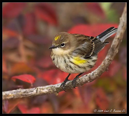 Yellow-rumped Warbler- Dendroica coronata<br /> Fall 2004 Jones Beach