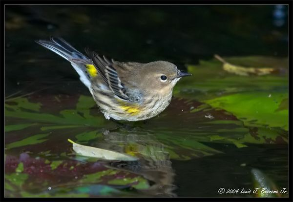 Yellow-rumped Warbler<br /> Dendroica coronata