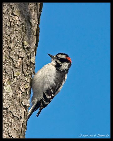 Downy Woodpecker -Picoides pubescens<br /> <br /> Jones Beach Spring 2005