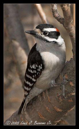 Downy Woodpecker -Picoides pubescens<br /> Commack, NY Spring 2005