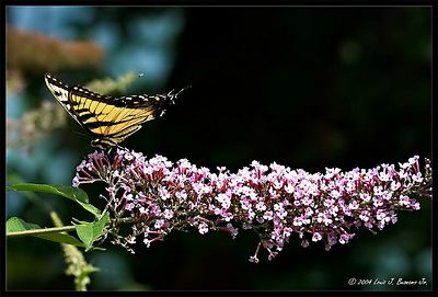 Eastern Tiger Swallowtail ;Papilio glaucus - Baiting Hollow NY August 2004