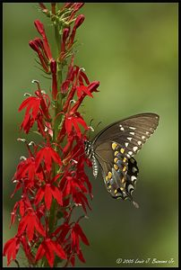 Spicebush Swallowtail; Papilio troilus - Baiting Hollow NY August 2005