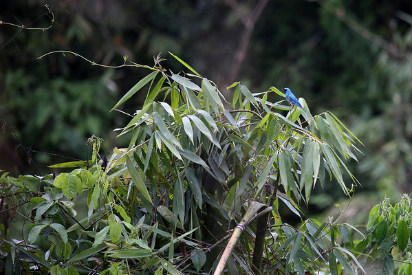 Turquoise Jay (Cyanolyca turcosa) - native to Columbia, Ecuador and Peru - this specimen at its southern distribution range in the Cusco department.