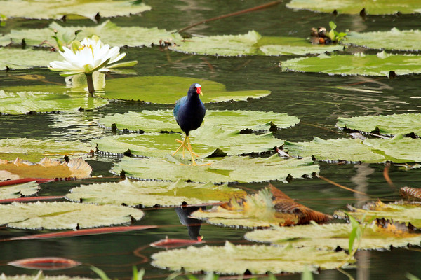Purple Gallinule - in transite upon the water-lily pads, with its reflection in the foreground, and a lilly florescence beyond - Laguna Oconal.