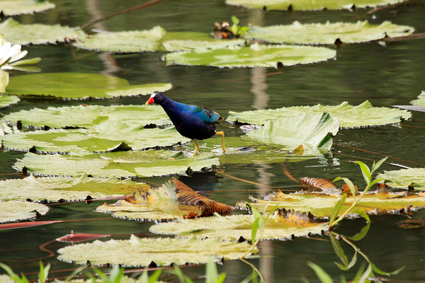 Water-lily pad supporting the weight of a Purple Gallinule, which grows to about 10 oz. (285 gm) - Laguna Oconal.