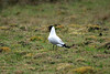 Andean Gull - displaying a vocalication upon the high altitude montane grasslands - Junin department.