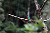 Crested Quetzal (Pharomachrus antisianus) - this frugivore specie is found at an altitude range from about 4,000 - 10,000 ft. (1,200 - 3,000 m) - along the Andean Mountains from Venezuela to Bolivia - this male specimen in the Andean Yungas ecoregion - Paucartambo province - Cusco department.