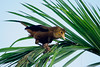 Russet-backed Oropendola (Psarocolius angustifrons) - just starting to weave its suspended nest - Cusco department.