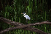 Cocoi Heron or White-necked Heron (Ardea cocoi) - is the largest heron species, measuring about 4.2 ft. (1.3 m) tall and weighing about 5.5 lb. (2.5 kg) - waterbird of the wetlands of South America - their plumage has a black cap, a white neck, white plumes on the breast, a grey back and wings, and white thighs - during the breeding season they have long, black plumes on the cap, tipped with white, a bright yellow beak, and dusky pink legs. This image in the Manu National Reserve - along the Rio Manu - Madre de Dios department.