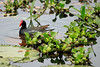 Common Gallinule - among the water-lily pads and water hyacinth - Laguna Oconal.