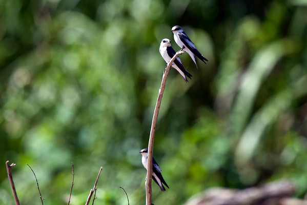 Blue-and-White Swallow (Pygochelidon cyanoleuca) - Manu National Reserve - Madre de Dios department.