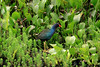 Purple Gallinule (Porphyrio martinicus) - dark purple/blue head, neck and underside - green tone plumage to the back, with a white under-tail - red beak tipped with yellow, and a pale blue forehead shield - and yellow legs and feet.  They grow to about 15 in. (38 cm) long, with a wingspan around 2 ft. (.6 m). They range from southeastern USA to Argentina. This specimen among the freshwater vegetation along the edge of Laguna Oconal - Pasco department.