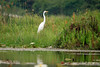 Great Egret - a large totally white plumage, wading, fish-stalker - measuring about 3.3 ft. (1 m) long - a wingspan of around 4.3 ft. (1.3 m) - and weighing about 2.2 lb. (1 kg).  This species is the 2nd largest of the Heron family.  They display black legs and feet, and a heavy yellow/orangeish bill, and a bright green facial skin at the bill and eyes, during breeding season.  The tail is short and square-ish. This specimen among the blooming water lilly, ferns, and sedges of Laguna Oconal.