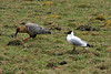 Andean Gull - Andean Ibis - high altitude grasslands of the Junin department.