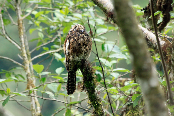 Andean Potoo - a long tailed bird with cryptic plumage - large head and eyes, mouth is wide with a short beak - the plumage primarily is brown, but heavily barred and mottled with buff on the upperparts, and mottled with black or dusky on the underparts - the most distinctive plumage feature is the prominent white band on the wing.