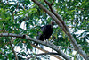 Black Vulture (Coragyps atratus) - sooty black plumage, a bare black head, and pale patches near the wingtips - they grow to about 26 in. (66 cm) long, with a wingspan around 5 ft. (1.5 m) - their distribution ranges from SE USA - to southern South America.