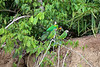 Dusky-headed Parakeets and Orange-cheeked Parrot
