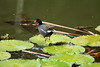 Common Gallinule - in transit across the water-lily pads - Laguna Oconal.