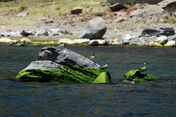 Andean Teal and Yellow-billed Teal - among the aquatic moss growing upon the boulders in Lago Titicaca, with the rocky shoreline of the Capachica Peninsula beyond - Puno department.