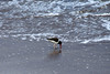American Oystercatcher (Haematopus palliates) - foraging along the Paracas Peninsula shoreline - their diet consists mainly of bivalves (oysters, clams, and mussels), and also on limpets, snails and crabs.