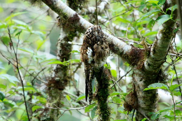 Andean Potoo - like other potoo species, it roosts motionless during the day upon large tree branches where its cryptic plumage blends with the tree's bark and lichen thereupon - this image revealing its long tail, large yellow eyes and short beak from a side view.