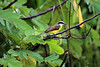 Great Kiskadee (Pitangus sulphuratus) - this specie grows to about 10 in. (25 cm) long - they will perch on a limb swoop out and hawk insects in flight, pounce upon small vertebrates, dive for fish and tadpoles, and take fruit - they are a tyrant flycatcher family member that ranges from southern Texas to Uruguay and central Argentina - this specimen in the Manu Province - Madre de Dios department.
