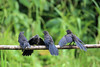 Smooth-billed Ani (Crotophaga ani) - this specie grows to about 14 in. (36 cm) long - like other anis, the smooth-bill lives in small groups and defend a single territory, and lay their eggs in one communal nest - these specimens in the Manu province - Madre de Dios department.
