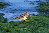Ruddy Turnstone (Arenaria interpres) - displaying its non-breeding plumage during the late-spring season - foraging among the kelp-lined shoreline - Ica department.