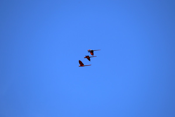 Scarlet Macaw - in flight above the Manu National Reserve.