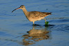 Whimbrel - with a piece of marine kelp upon its leg and reflection upon the coastal water of the Paracas Bay - Ica department.