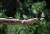 Large-billed Terns and Sand-colored Nighthawk - perched upon a fallen tree in the Rio Manu - Madre de Dios department.