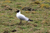 Andean Gull - breeding plumage, during the spring season - high altutude grasslands in the Junin department.