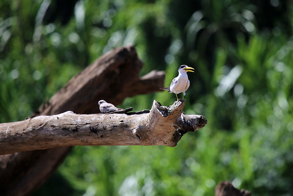 Large-billed Tern (Phaetusa simplex) - and Sand-colored Nighthawk  (Chordeiles rupestris rupestris) - perched upon a fallen tree in the Rio Manu.