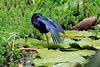 Purple Gallinule - fanning its plumage while preening and standing upon a water-lily pad   - Laguna Oconal.