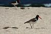 American Oystercatchers - along the Yumaque Beach.