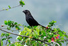 Smooth-billed Ani - an omnivore, taking large insects, spiders, lizards, fruits, and berries.