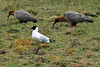 Andean Gull - among a pair of foraging Andean Ibis, foraging in the Central Andes Puna ecoregion (montane grasslands, mountain peaks, alpine lakes and valleys) - Concepcion province - Junin department.