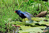 Purple Gallinule - fanning its plumage while standing upon the pad of a water-lily - Laguna Oconal - Pasco department.